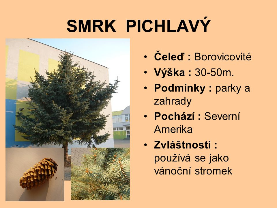 SMRK PICHLAVÝ Čeleď : Borovicovité Výška : 30-50m.