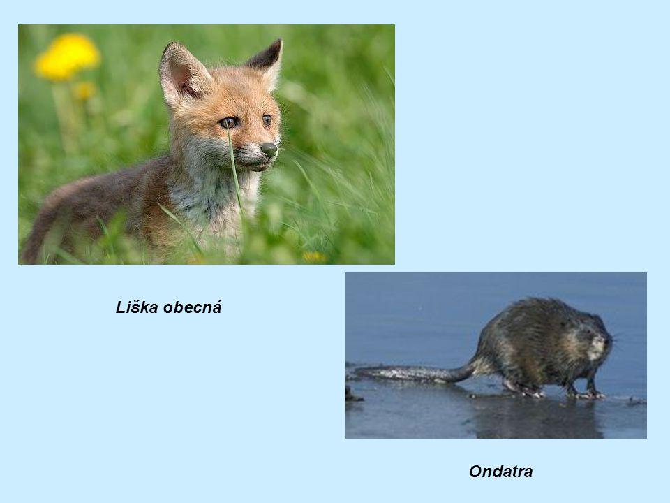 Liška obecná Ondatra