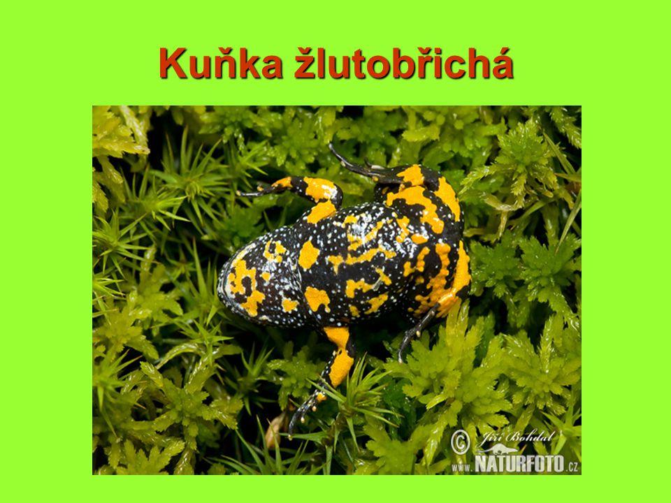 Kuňka žlutobřichá