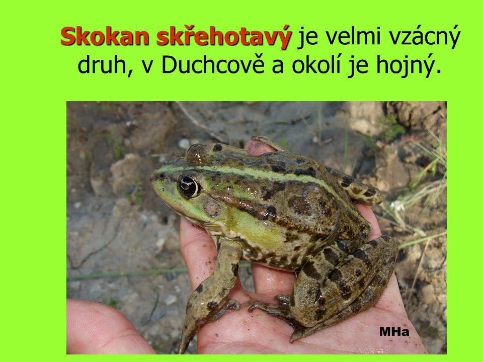 Skokan skřehotavý je velmi vzácný druh, v Duchcově a okolí je hojný.
