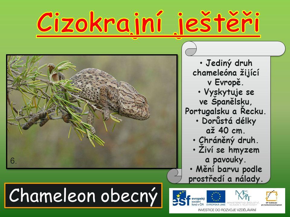 Cizokrajní ještěři Chameleon obecný