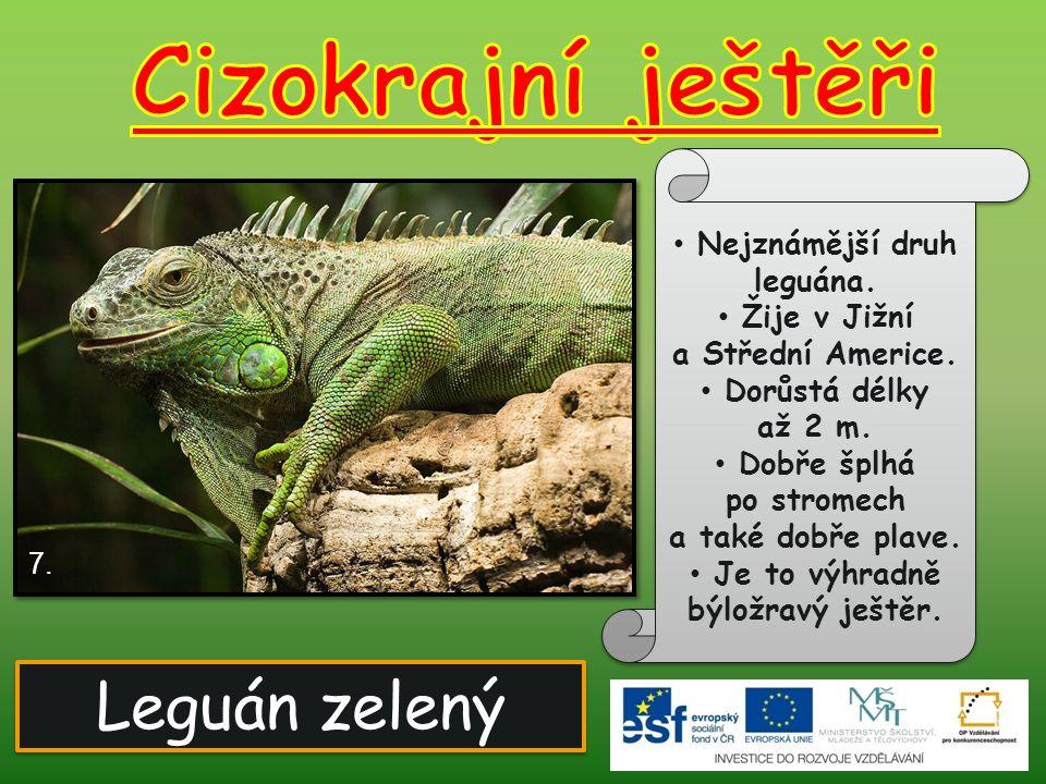 Cizokrajní ještěři Leguán zelený Nejznámější druh leguána.