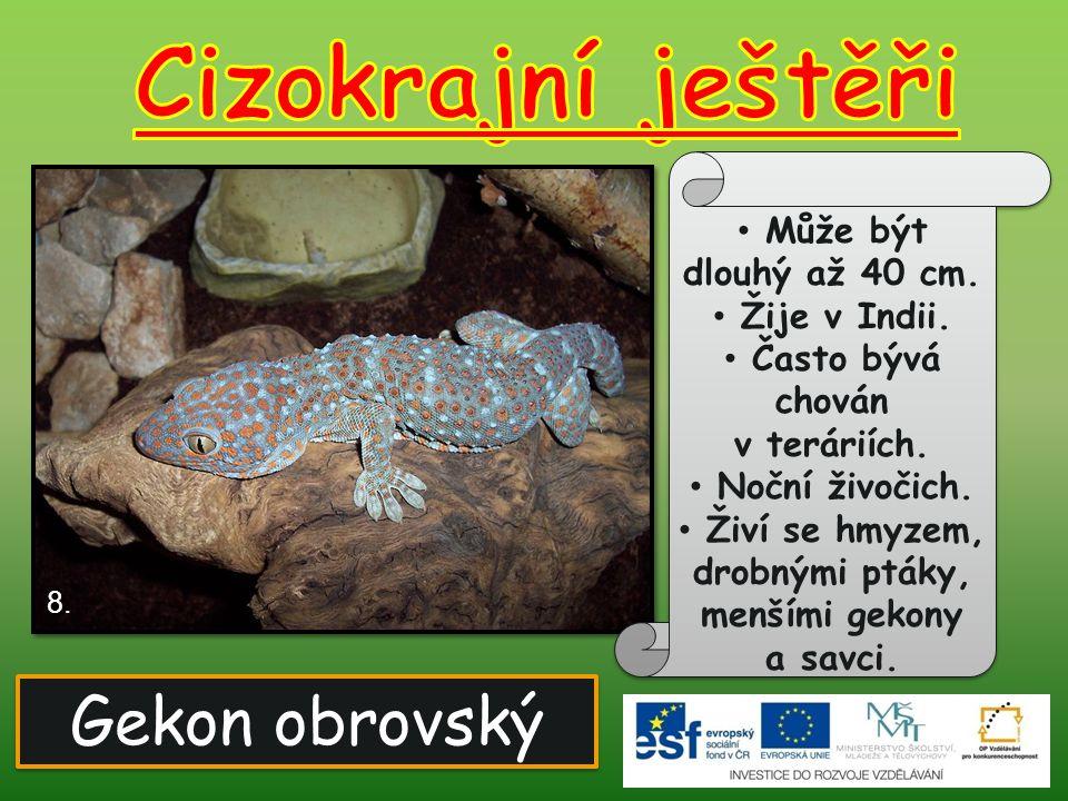 Cizokrajní ještěři Gekon obrovský Může být dlouhý až 40 cm.
