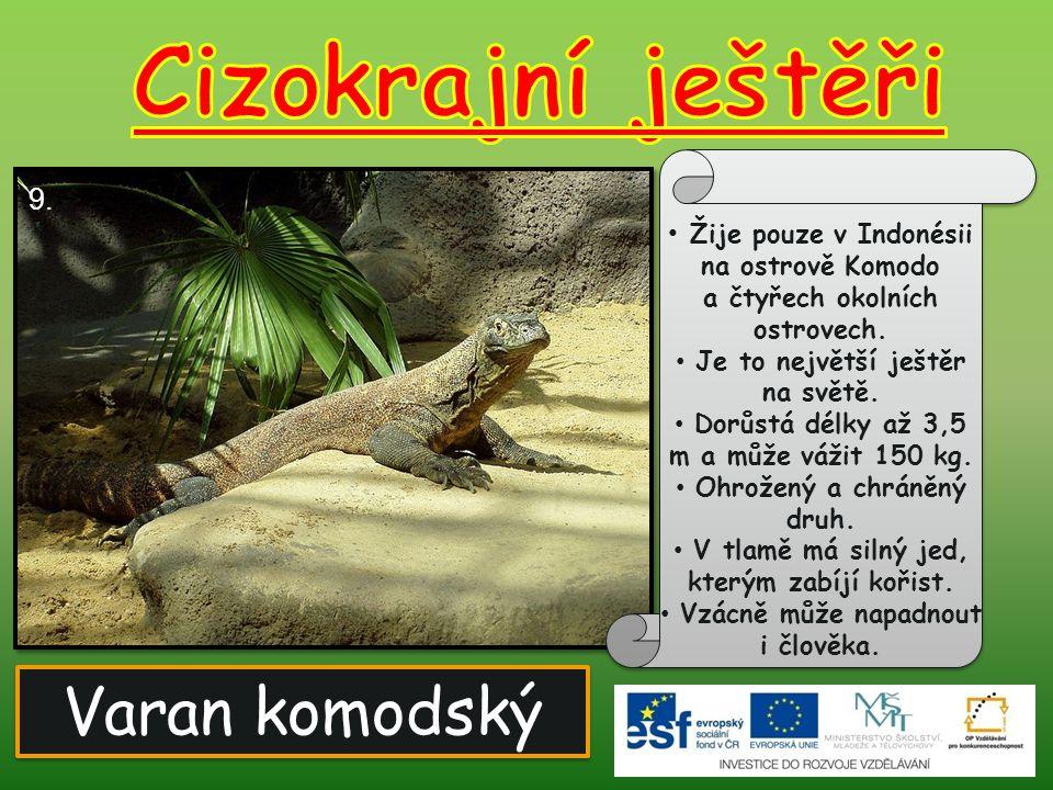 Cizokrajní ještěři Varan komodský 9.
