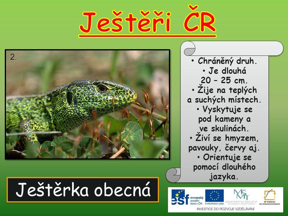 Ještěři ČR Ještěrka obecná Chráněný druh. 2. Je dlouhá 20 – 25 cm.