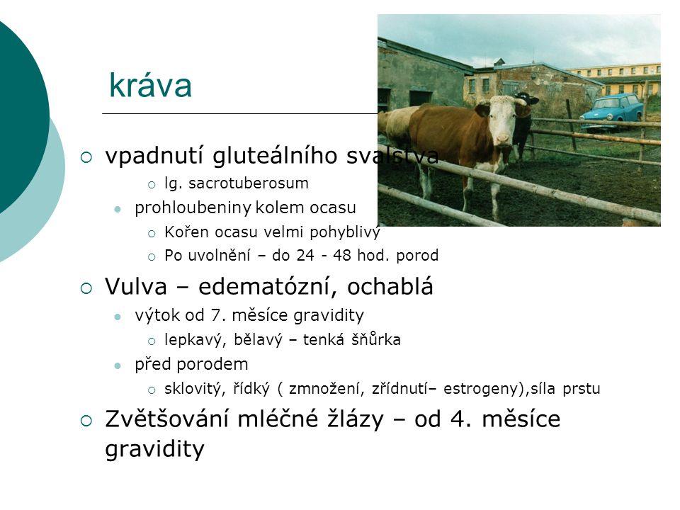 kráva vpadnutí gluteálního svalstva Vulva – edematózní, ochablá