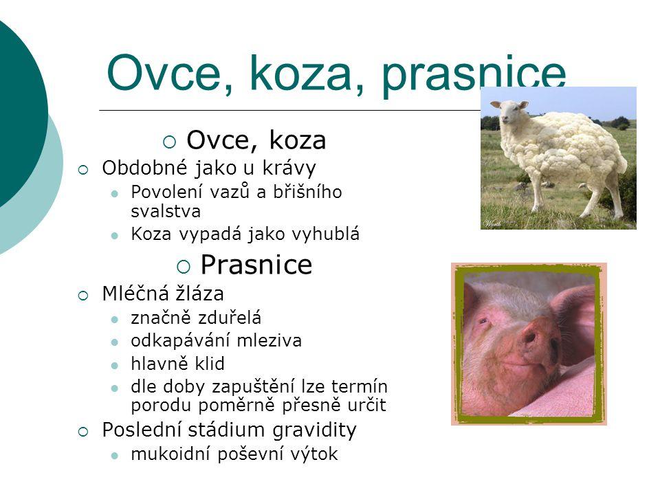 Ovce, koza, prasnice Prasnice Ovce, koza Obdobné jako u krávy