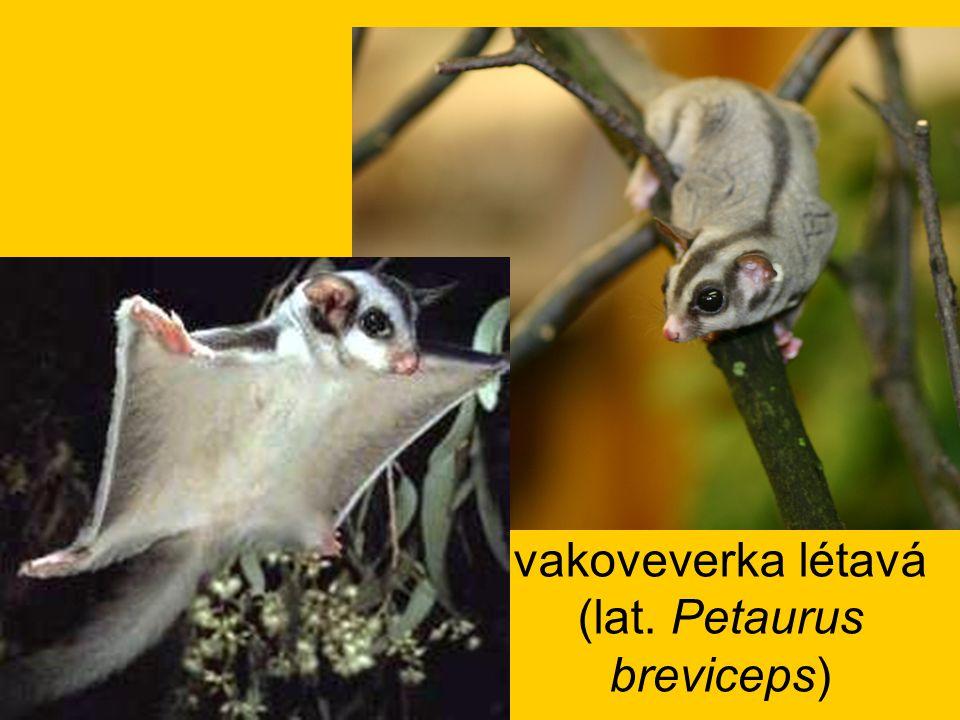 vakoveverka létavá (lat. Petaurus breviceps)