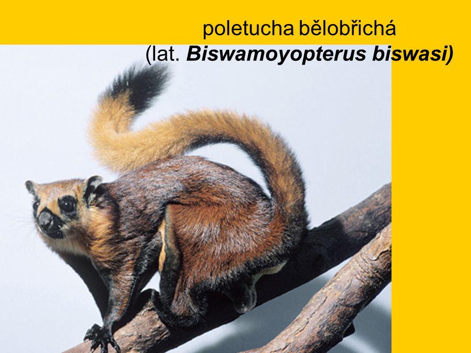 poletucha bělobřichá (lat. Biswamoyopterus biswasi)