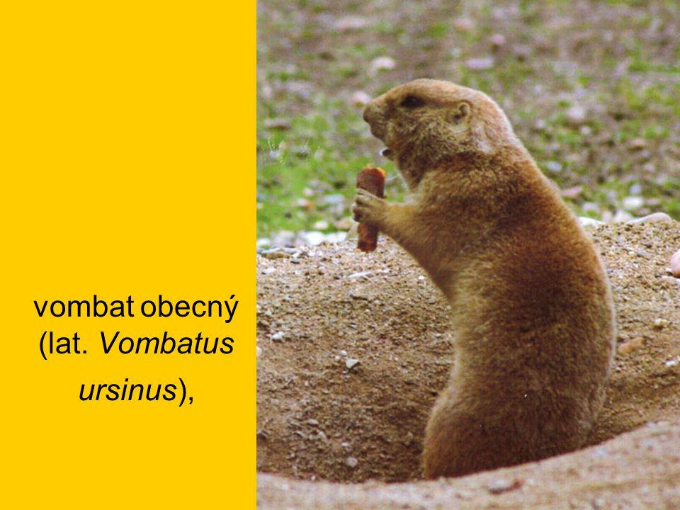 vombat obecný (lat. Vombatus ursinus),
