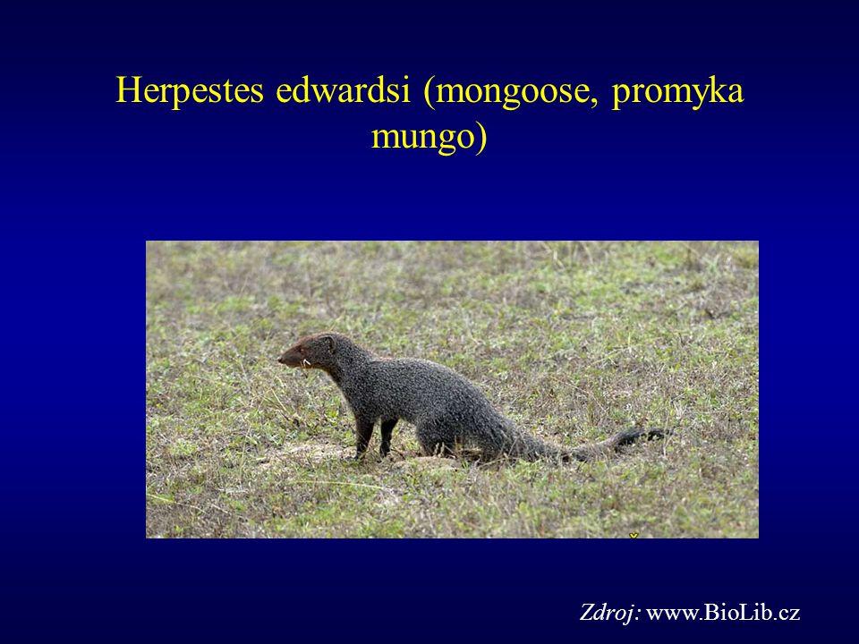 Herpestes edwardsi (mongoose, promyka mungo)