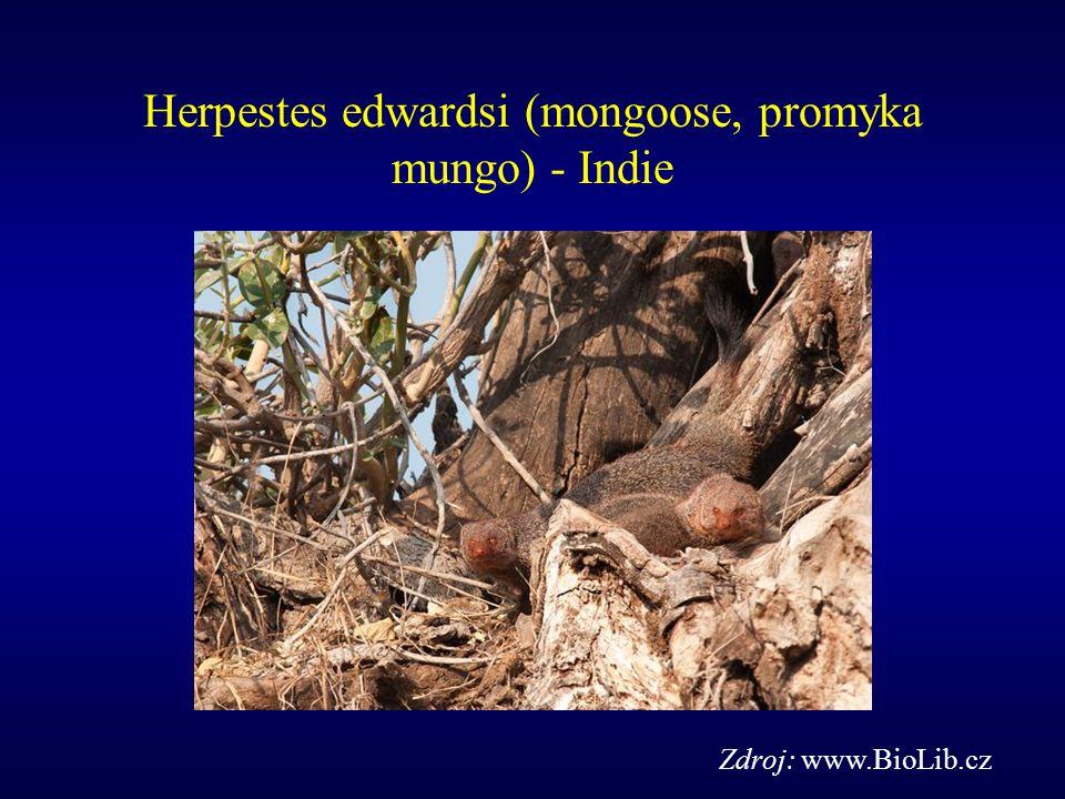 Herpestes edwardsi (mongoose, promyka mungo) - Indie