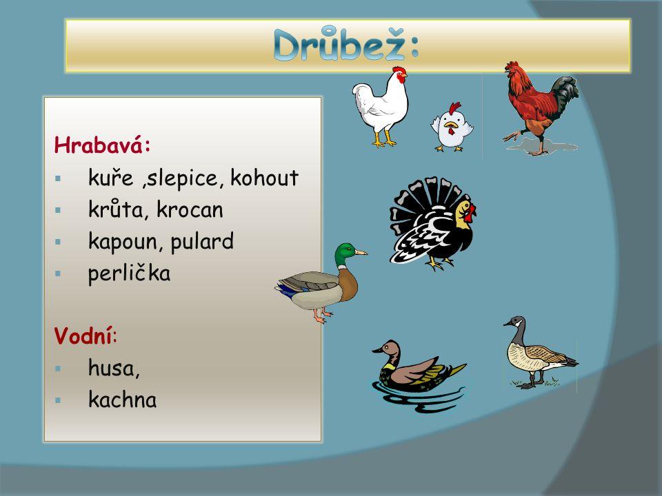 Drůbež: Hrabavá: kuře ,slepice, kohout krůta, krocan kapoun, pulard