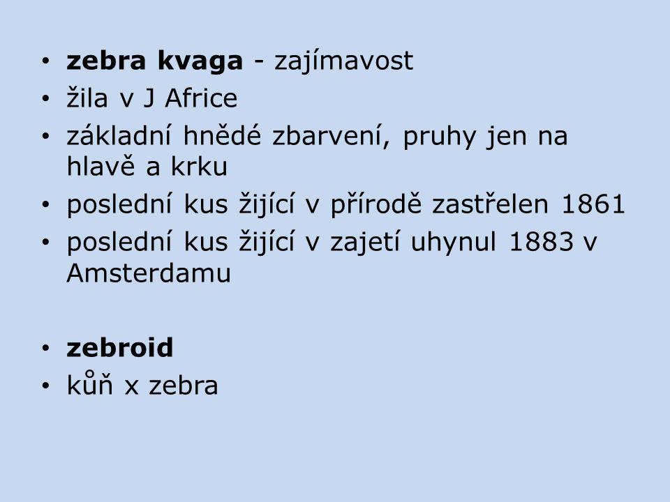 zebra kvaga - zajímavost