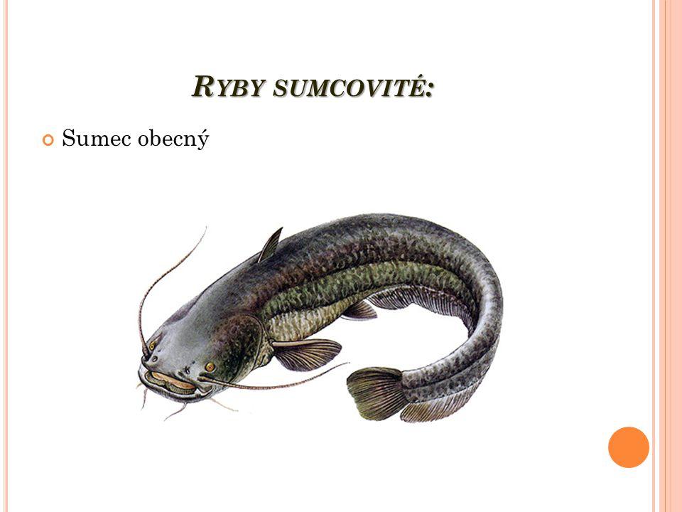 Ryby sumcovité: Sumec obecný