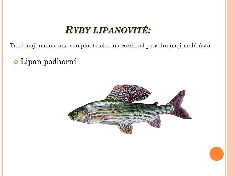 Ryby lipanovité: Lipan podhorní