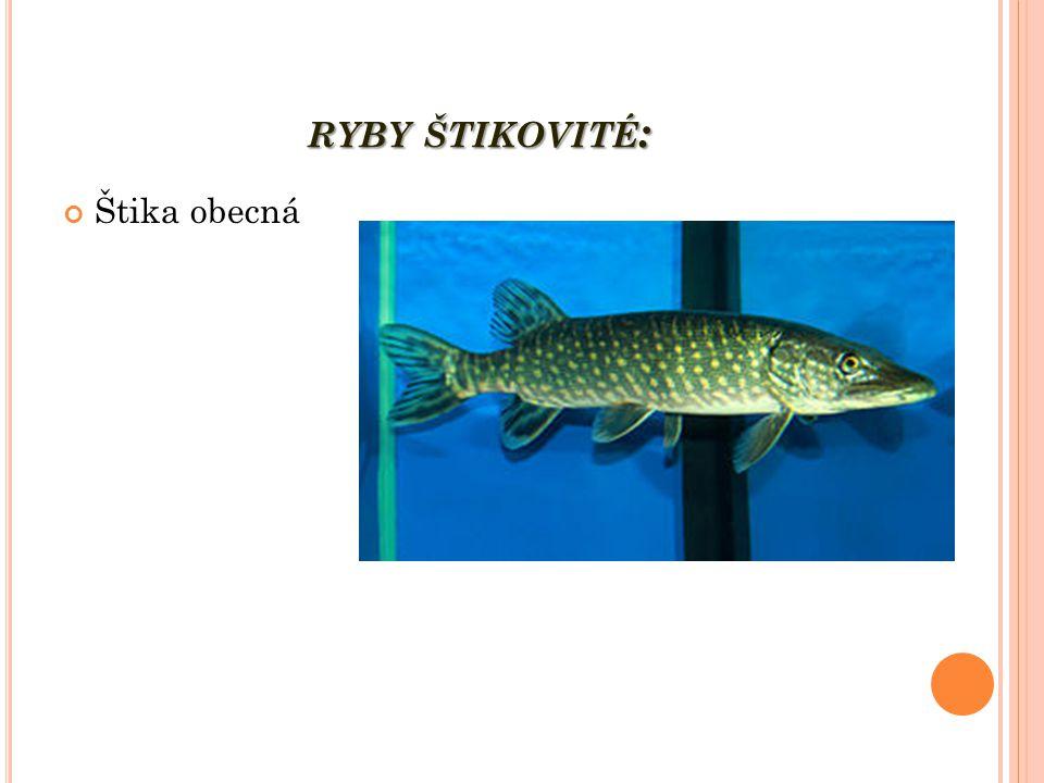 ryby štikovité: Štika obecná