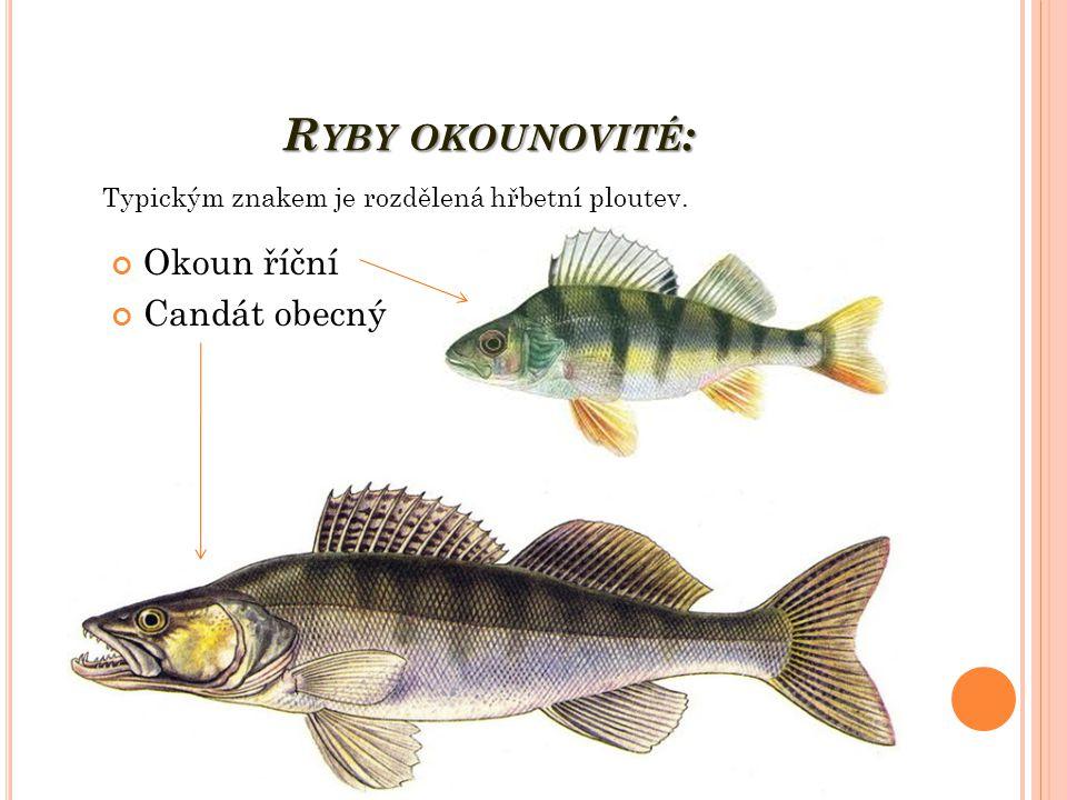 Ryby okounovité: Okoun říční Candát obecný