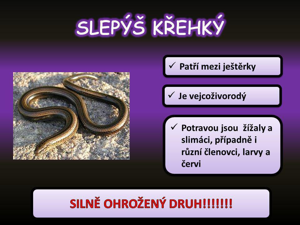 SLEPÝŠ KŘEHKÝ SILNĚ OHROŽENÝ DRUH!!!!!!! Patří mezi ještěrky