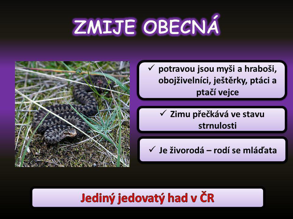 ZMIJE OBECNÁ Jediný jedovatý had v ČR
