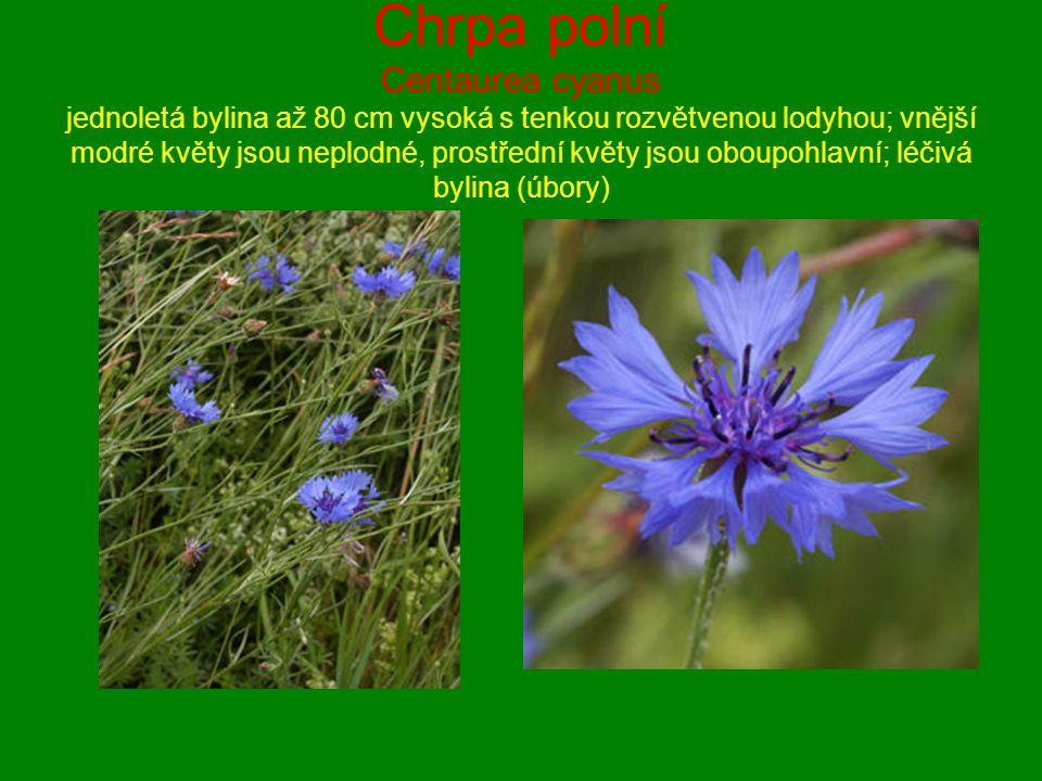 Chrpa polní Centaurea cyanus jednoletá bylina až 80 cm vysoká s tenkou rozvětvenou lodyhou; vnější modré květy jsou neplodné, prostřední květy jsou oboupohlavní; léčivá bylina (úbory)