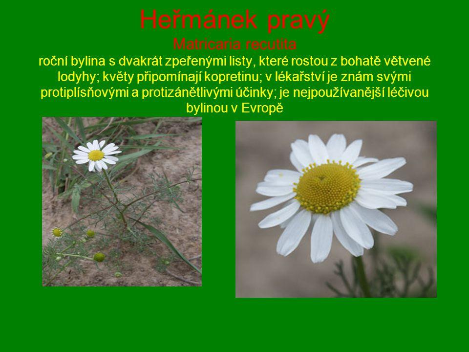 Heřmánek pravý Matricaria recutita roční bylina s dvakrát zpeřenými listy, které rostou z bohatě větvené lodyhy; květy připomínají kopretinu; v lékařství je znám svými protiplísňovými a protizánětlivými účinky; je nejpoužívanější léčivou bylinou v Evropě