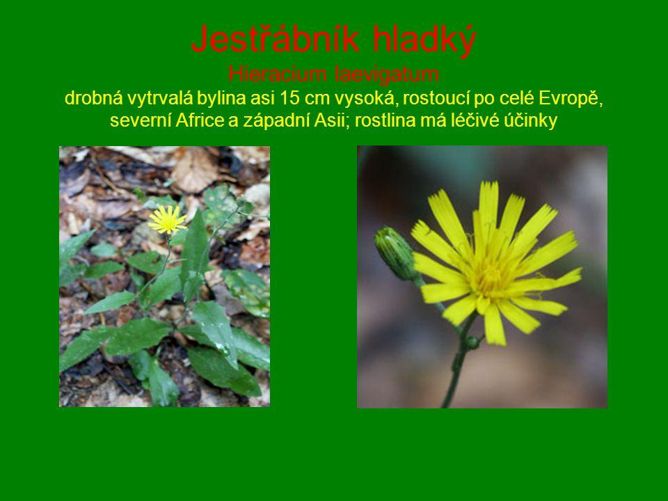Jestřábník hladký Hieracium laevigatum drobná vytrvalá bylina asi 15 cm vysoká, rostoucí po celé Evropě, severní Africe a západní Asii; rostlina má léčivé účinky