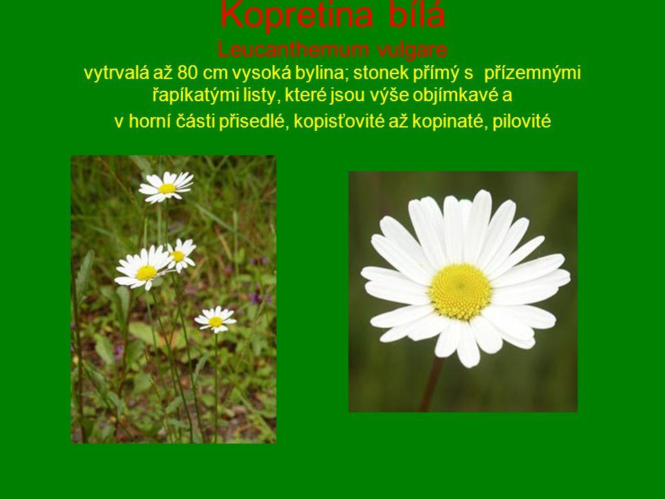 Kopretina bílá Leucanthemum vulgare vytrvalá až 80 cm vysoká bylina; stonek přímý s přízemnými řapíkatými listy, které jsou výše objímkavé a v horní části přisedlé, kopisťovité až kopinaté, pilovité