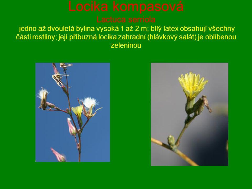 Locika kompasová Lactuca serriola jedno až dvouletá bylina vysoká 1 až 2 m; bílý latex obsahují všechny části rostliny; její příbuzná locika zahradní (hlávkový salát) je oblíbenou zeleninou