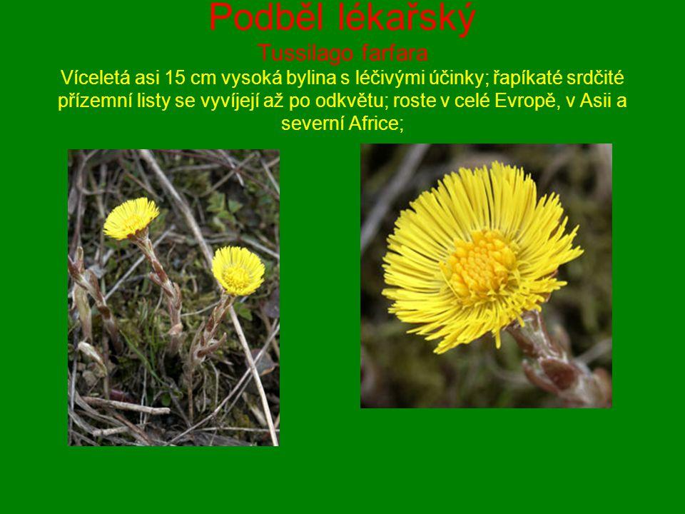 Podběl lékařský Tussilago farfara Víceletá asi 15 cm vysoká bylina s léčivými účinky; řapíkaté srdčité přízemní listy se vyvíjejí až po odkvětu; roste v celé Evropě, v Asii a severní Africe;
