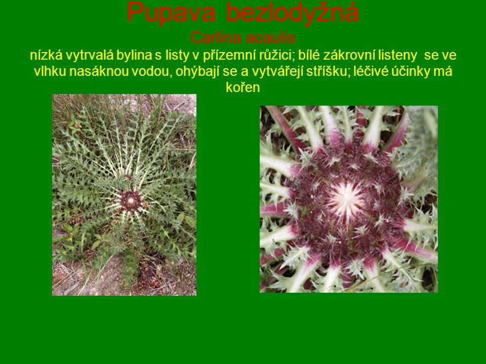 Pupava bezlodyžná Carlina acaulis nízká vytrvalá bylina s listy v přízemní růžici; bílé zákrovní listeny se ve vlhku nasáknou vodou, ohýbají se a vytvářejí stříšku; léčivé účinky má kořen