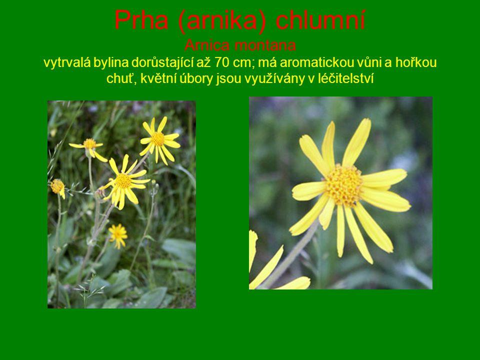 Prha (arnika) chlumní Arnica montana vytrvalá bylina dorůstající až 70 cm; má aromatickou vůni a hořkou chuť, květní úbory jsou využívány v léčitelství
