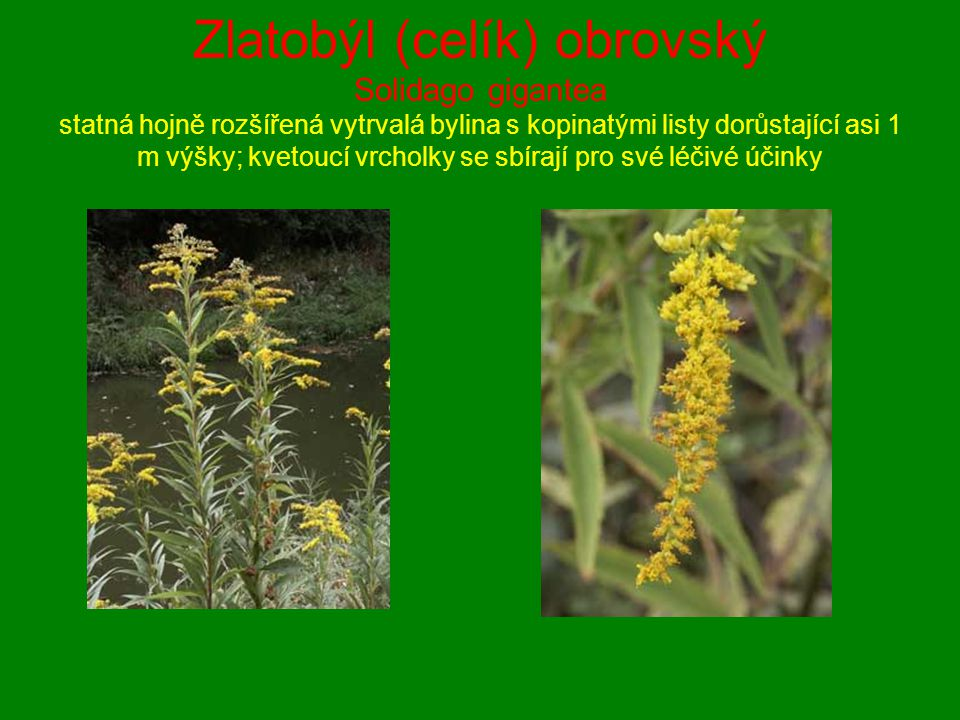 Zlatobýl (celík) obrovský Solidago gigantea statná hojně rozšířená vytrvalá bylina s kopinatými listy dorůstající asi 1 m výšky; kvetoucí vrcholky se sbírají pro své léčivé účinky