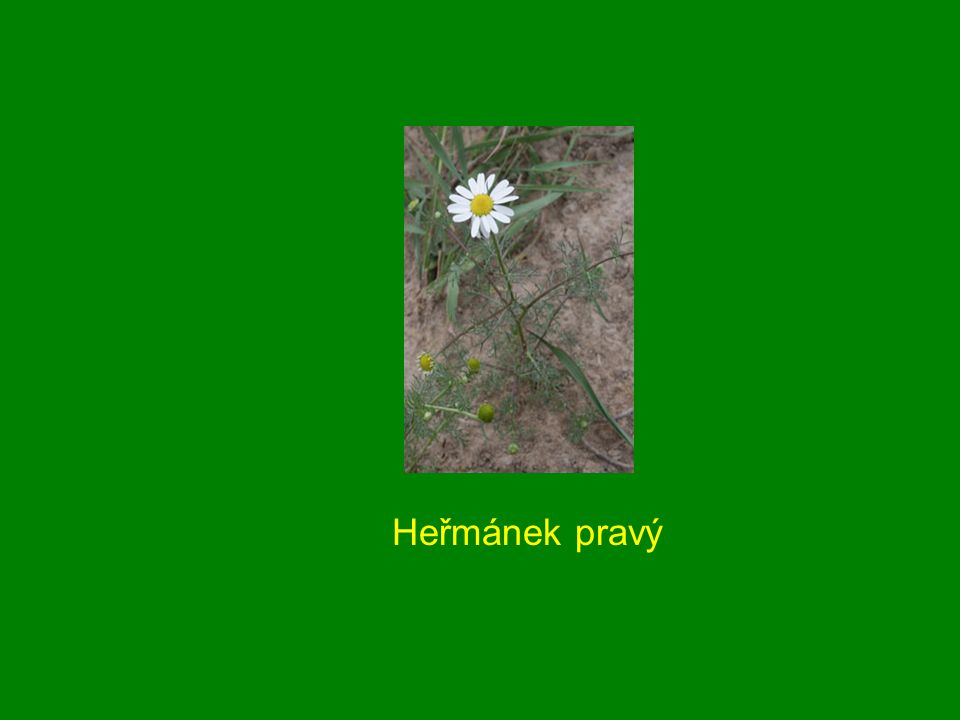 Heřmánek pravý