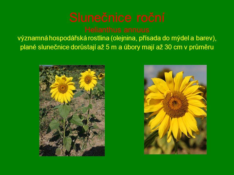 Slunečnice roční Helianthus annuus významná hospodářská rostlina (olejnina, přísada do mýdel a barev), plané slunečnice dorůstají až 5 m a úbory mají až 30 cm v průměru