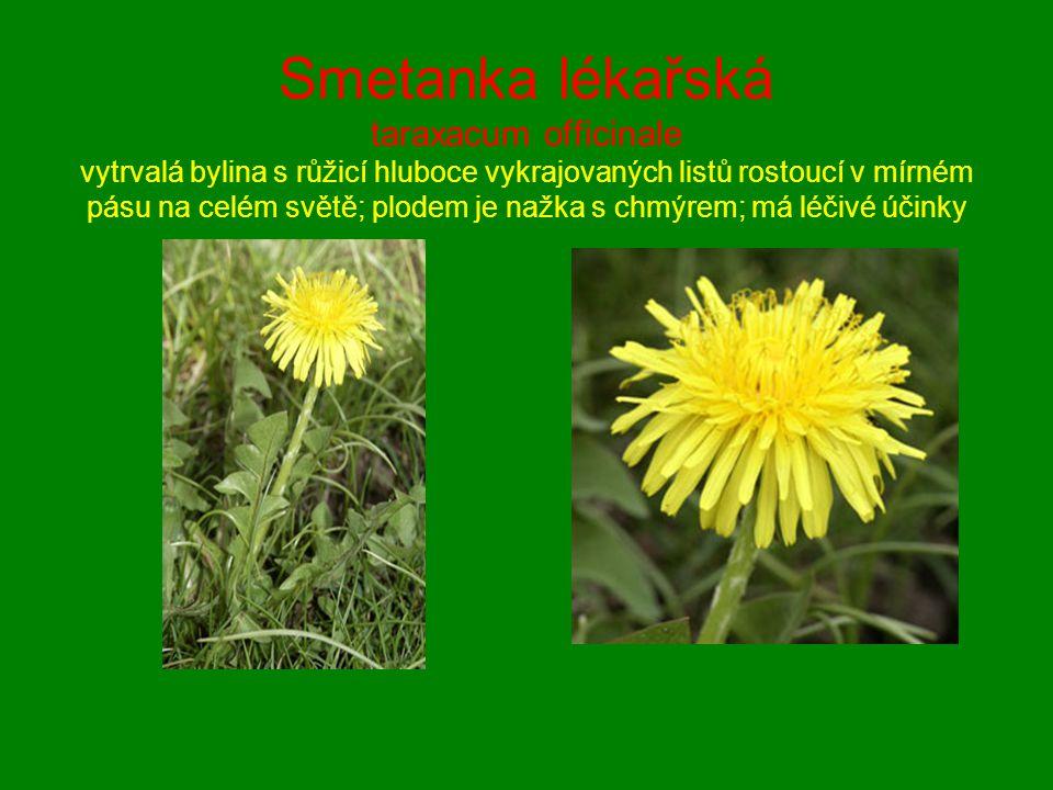 Smetanka lékařská taraxacum officinale vytrvalá bylina s růžicí hluboce vykrajovaných listů rostoucí v mírném pásu na celém světě; plodem je nažka s chmýrem; má léčivé účinky
