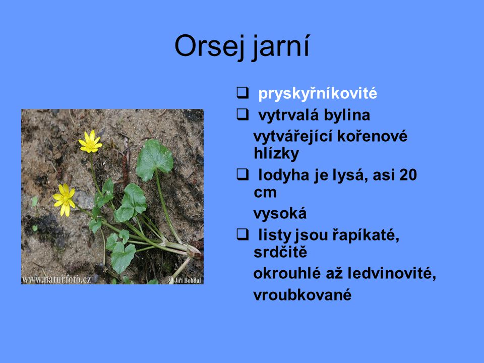Orsej jarní pryskyřníkovité vytrvalá bylina