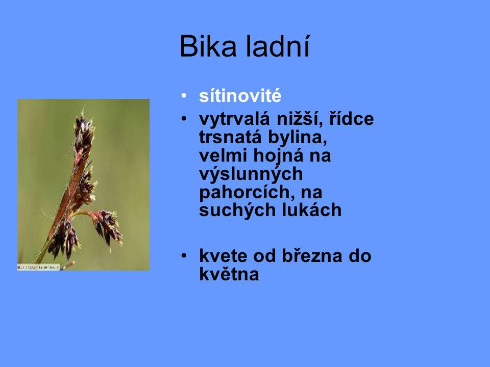 Bika ladní sítinovité. vytrvalá nižší, řídce trsnatá bylina, velmi hojná na výslunných pahorcích, na suchých lukách.
