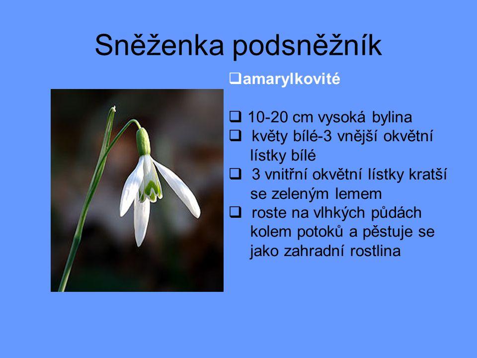 Sněženka podsněžník amarylkovité 10-20 cm vysoká bylina