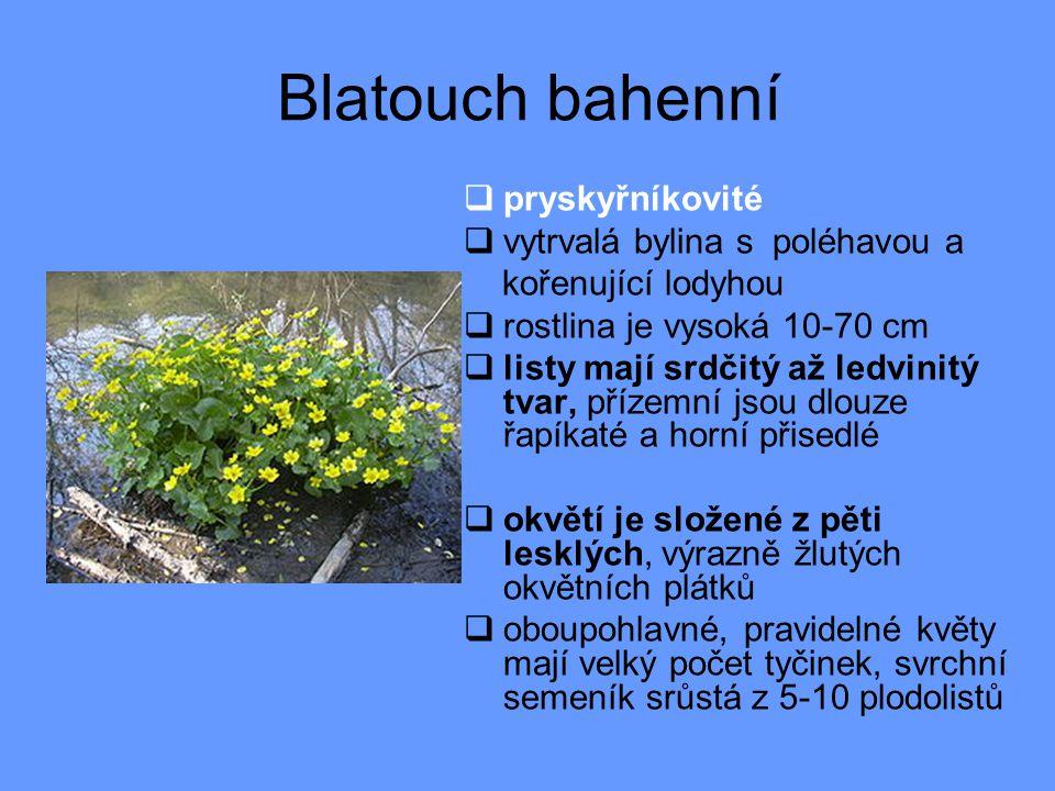 Blatouch bahenní pryskyřníkovité vytrvalá bylina s poléhavou a