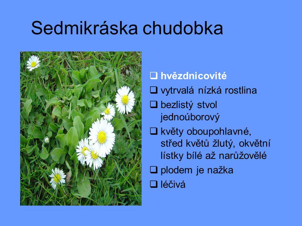 Sedmikráska chudobka hvězdnicovité vytrvalá nízká rostlina