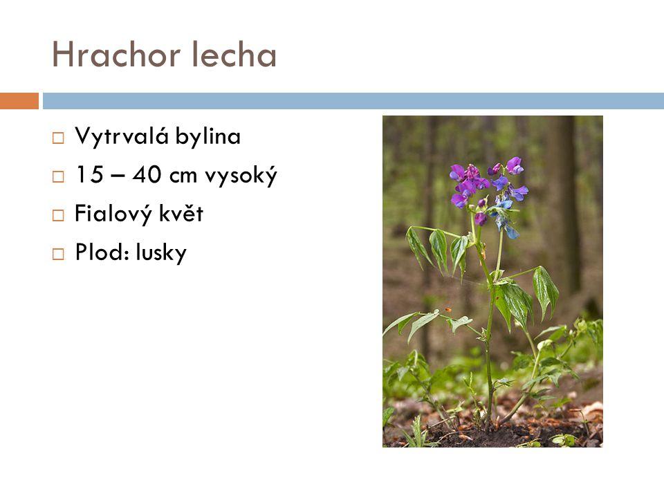 Hrachor lecha Vytrvalá bylina 15 – 40 cm vysoký Fialový květ