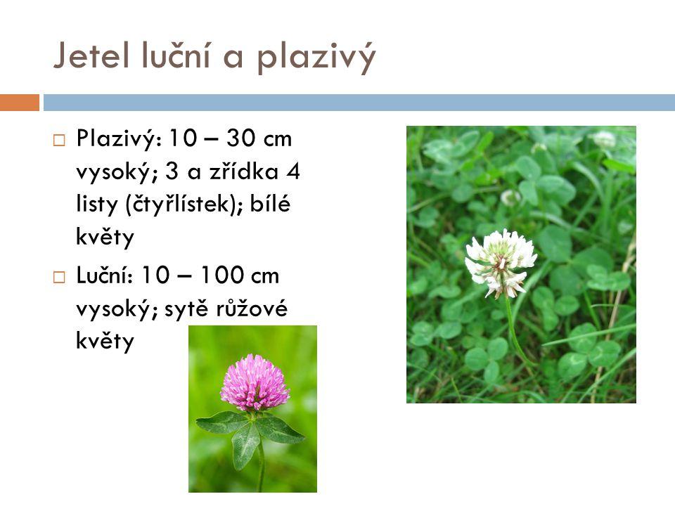 Jetel luční a plazivý Plazivý: 10 – 30 cm vysoký; 3 a zřídka 4 listy (čtyřlístek); bílé květy.