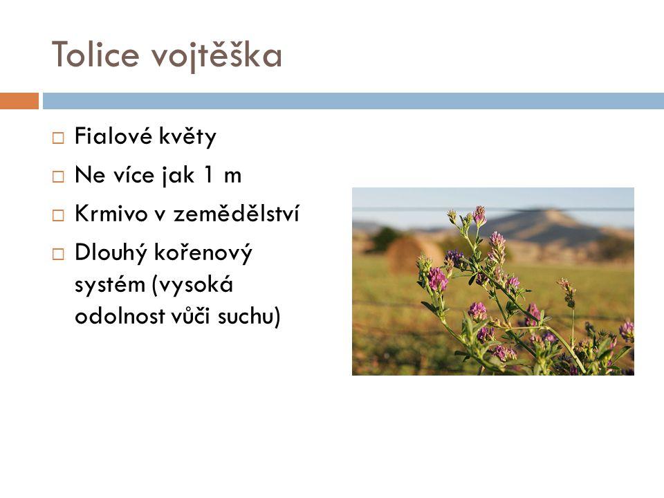 Tolice vojtěška Fialové květy Ne více jak 1 m Krmivo v zemědělství