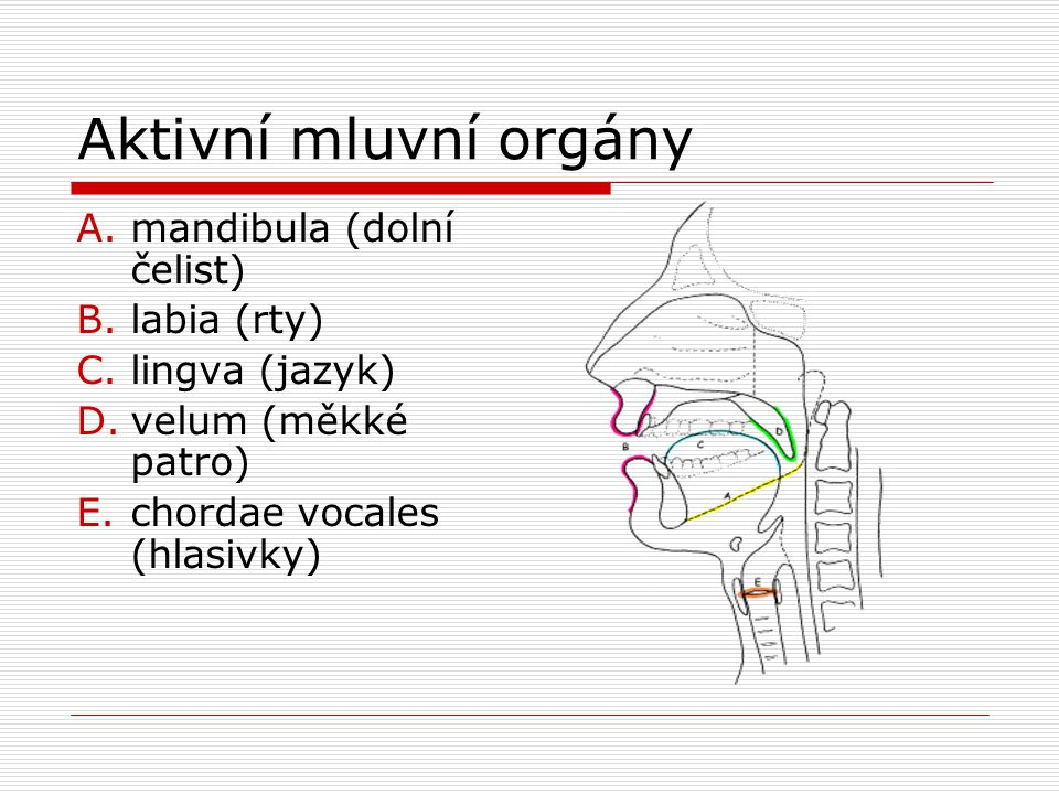Aktivní mluvní orgány mandibula (dolní čelist) labia (rty)