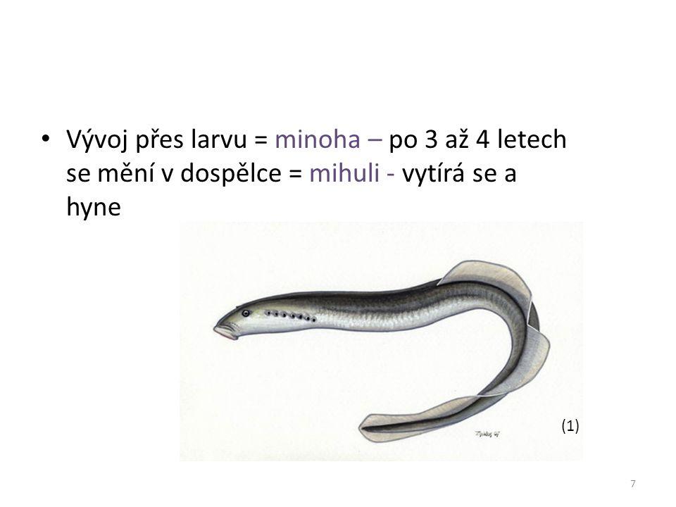 Vývoj přes larvu = minoha – po 3 až 4 letech se mění v dospělce = mihuli - vytírá se a hyne