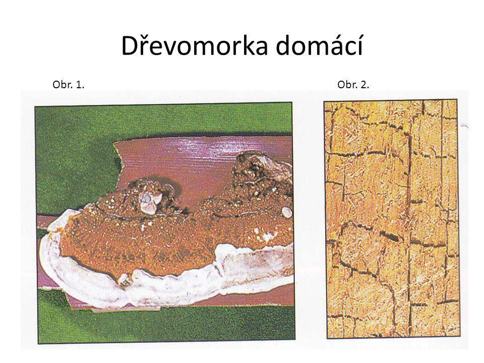 Dřevomorka domácí Obr. 1.