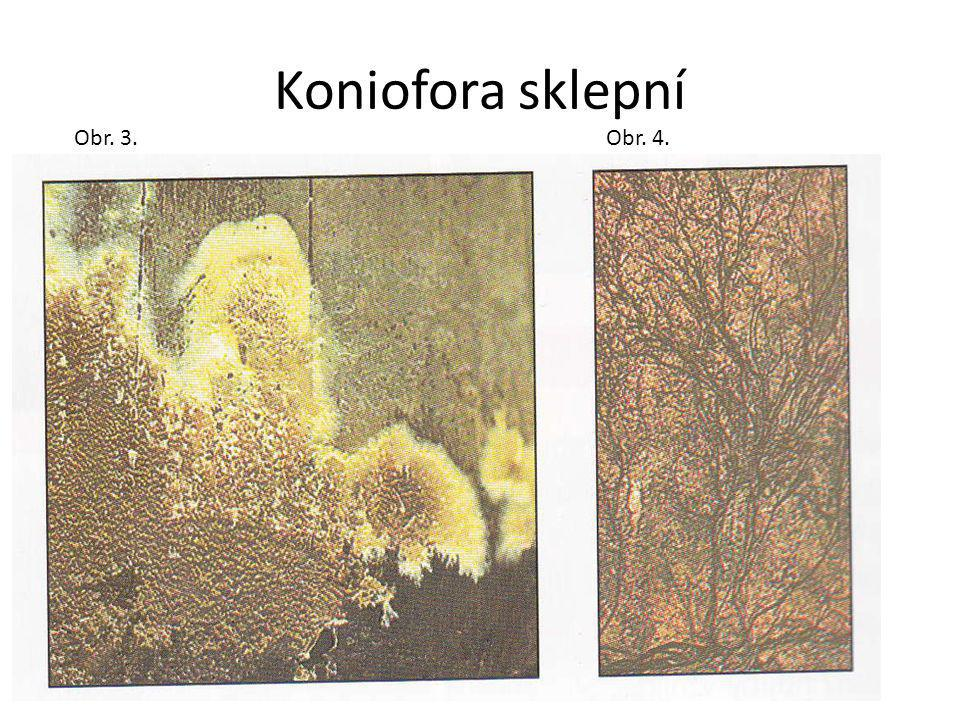 Koniofora sklepní Obr. 3.