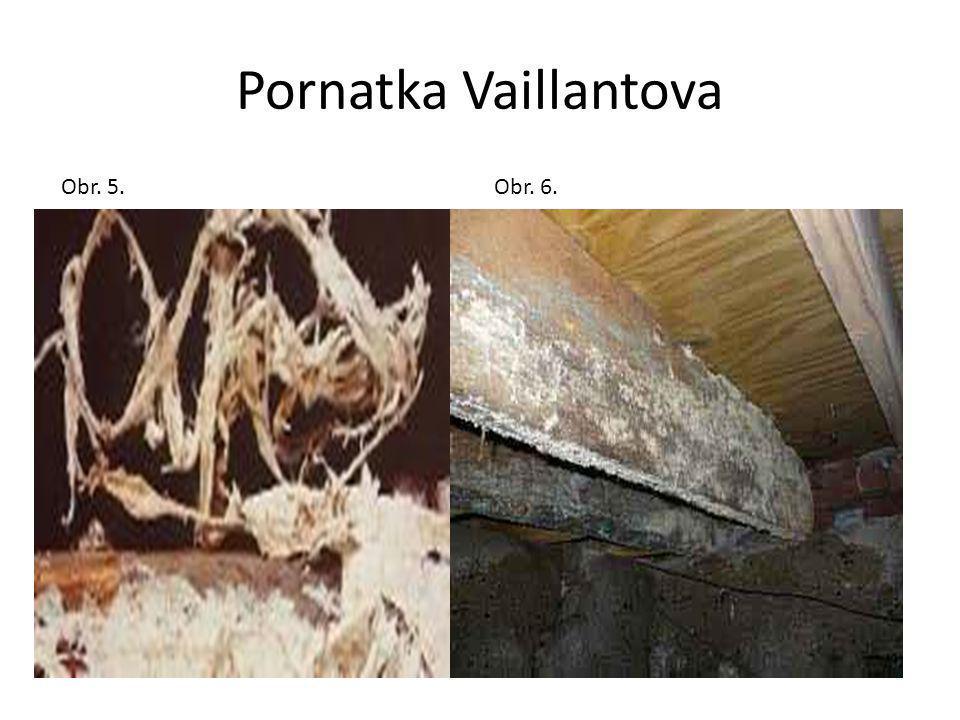Pornatka Vaillantova Obr. 5.