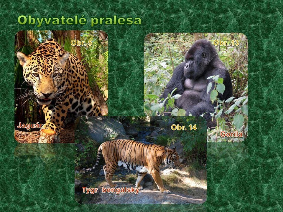 Obyvatelé pralesa Obr. 5 Obr. 13 Jaguár Obr. 14 Gorila Tygr bengálský